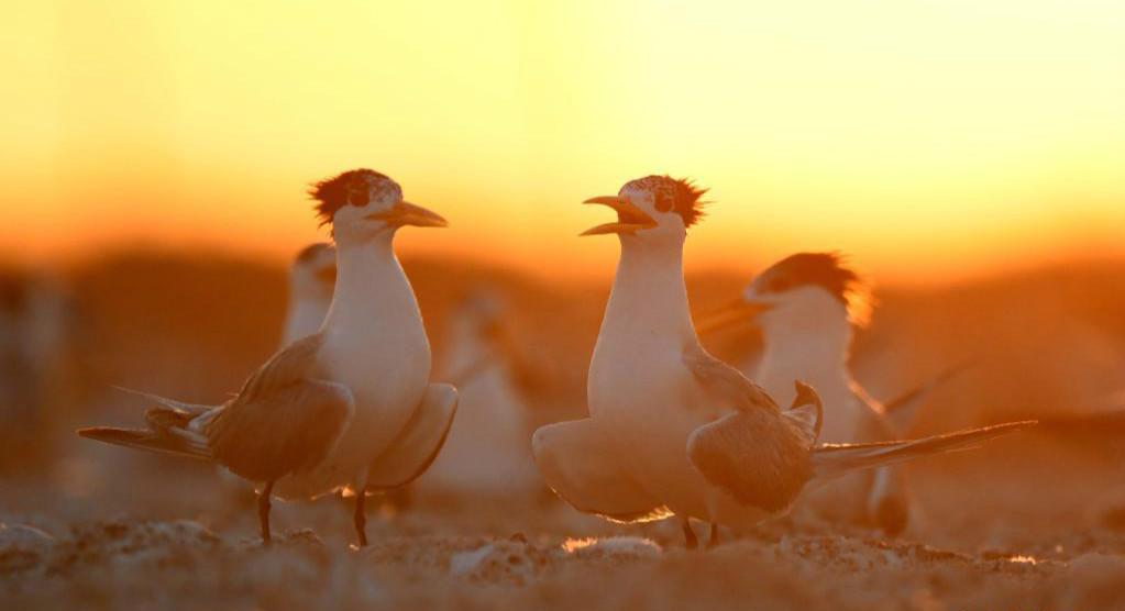 科威特库拜尔岛观鸟